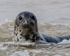 Blakney seal (t.nicola1) Tags: sea seal blakneypoint