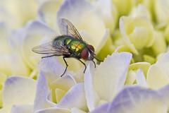 Green on Purple (brucetopher) Tags: macro green eye closeup bigeyes fly bottle eyes metallic nectar hydrangea blowfly bottleblowfly