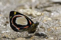 Delias rosamontana rosamontana (Hiro Takenouchi) Tags: pieridae papua insect nature butterfly butterflies delias indonesia