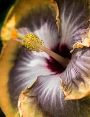 P7129578 (Mark J. Stein) Tags: plant flower nature closeup longwoodgardens 2016 photobymarkjstein photobymarkstein