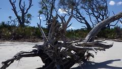 Driftwood Beach Jekyll Island, GA - IMGP4676 (catchesthelight) Tags: driftwoodbeach georgiasmostcompellingbeaches jekyllislandga barrierisland oneofthemostinterestingshorelines whitesand oaktrees driftwood gnarly naturalgraveyard preservation beauty light shadow texture