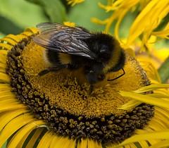 Black & yellow,yellow & black. (ORIONSM) Tags: bee flower pollen plant garden yellow black macro closeup olympus omdm10