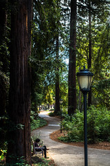 campus160716-076.jpg (Yvonne Rathbone) Tags: 1855mmf3556gvr cal d5500 nikkor nikon ucberkeley afternoon cf16 curve green lamp leaves outdoors path peaceful plants quiet redwoods shade sitting solitude sunny trees vertical lamppost lampposts technical