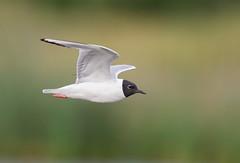 Bonaparte gull adult (mandokid1) Tags: canon canon500f4 idmk1v birds gulls