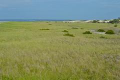 Grass (nls451) Tags: summer beach grass ma sand crane cape ipswich