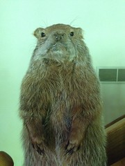 Stuffed groundhog (jessamyn) Tags: weston20 roadtrip groundhog woodchuck