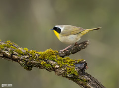 Common-yellowthroat (Corey Hayes) Tags: geothlypistrichas warbler forest marsh wetland wet raining log moss muskoka common breeding coreyhayes animal songbird