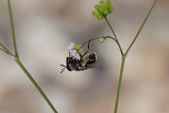 Fly Walk (harefoot1066) Tags: nyctaginaceae boerhavia spiderling boerhaviaerecta erectspiderling diptera aschiza syrphidae eristalinae volucellini copestylum copestylummarginatumgroup syrphidfly