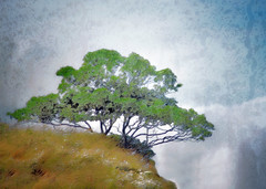 pine on the cliff (Hal Halli) Tags: cliff tree landscape wallart scotspine sharingart