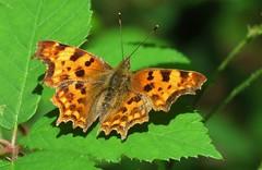 Robert-le-Diable (Elisa1880) Tags: netherlands animal butterfly insect nederland aurelia dier vlinder kasteel oegstgeest oudpoelgeest polygonia landgoed anglewing calbum robertlediable gehakkelde