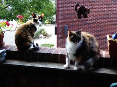 Calico Cuteness (Philosopher Queen) Tags: kayla iris cats chats gatos calico kitties porch outdoors