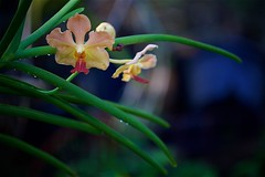 FS9A9990 (dSLRartist) Tags: canon ef70200mm f28l eos 5d mark3 orchid colours flowers sir happy joy nature