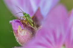 Hidden but found (marielledevalk) Tags: macro animal blossom insect plant flower nature pink