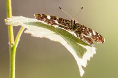 On an Island in the Sun (The Wasp Factory) Tags: butterfly schmetterling tierparksababurg sababurg map landkrtchen araschnialevanafprorsa
