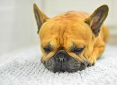 Sweet Face (art w.) Tags: frenchbulldog dog frenchy bulldogs nikon nikon28mmf14d