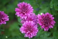 Oh How I Love Purple (eyriel) Tags: flower flowers garden purple mum mums nature bloom blooms macro bokeh dof