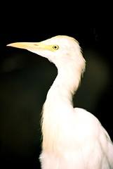 SINGAPORE EGRET (patrick555666751) Tags: singaporeaigrette singapore aigrette oiseaux birds asie asia du sud est south east singapura vogel aves egret