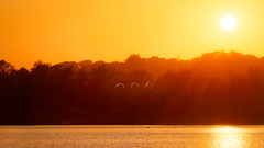 'Summer Night Flight' (Jonathan Casey) Tags: swan flight sunset lake broad whitlingham norfolk broads great d810 200mm f2 vr