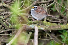 2016 White-throated Sparrow 3 (DrLensCap) Tags: whitethroated sparrow montrose point bird sanctuary chicago illinois il robert kramer