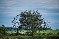 Black birds (A.Husvaer) Tags: birds