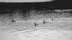 T E M P E R A T E W A T E R S (Jonhatan Photography) Tags: bnw bw water lake nature love waves explorer