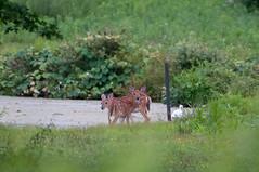 DSC_1114-1 (bjf41) Tags: deer whitetail fawns