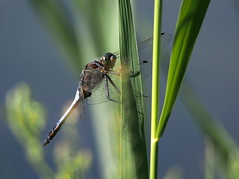 dragonfly (quarzonero ...Aldo A...) Tags: dragonfly libellula nature insetto insect coth coth5