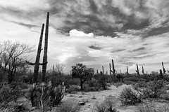 Thunderstorm, Saguaro National Park, AZ (4 Corners Photo) Tags: 4cornersphoto arizona blackandwhite cactus carnegieagigantea cholla clouds desert landscape monsoon nopal northamerica opuntia pimacounty pricklypear rain rural saguaronationalpark saguarocactus scenery sky sonorandesert storm summer thunderstorm unitedstates vegetation weather us
