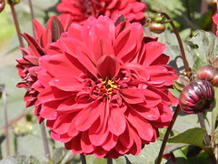 Bright Red Dahlia, Inverewe Gardens, Wester Ross, Sep 2015 (allanmaciver) Tags: bright red dahlia wester ross inverewe gardens highland scotland west coast colour detail beautiful summer flower allanmaciver