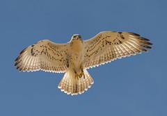 Checking Us Out (Happy Photographer) Tags: hawk bird raptor flight wildlife colorado amyhudechek backlight ferruginous