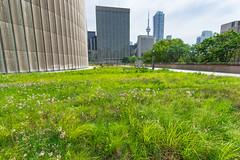 City Hall Grass Garden (Viv Lynch) Tags: insect toronto cityhall downtown greenroof public city urban garden queenstreet ontario canada summer 2016