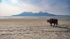 Cow and Rm from Eigg (Strength) Tags: eigg cleadalebeach rm beach cow animal sunny scotland island