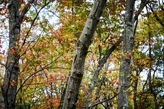 Wishing For Autumn Air (LauraJSwindle) Tags: 85mm wantagh ny usa autumn foliage fall nikond7100 millpond newyork botanical branches bark leaves leaflifecycle trees flora reds yellows greens woods nature mossy longisland