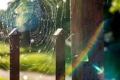 Cobweb | Sunset #149/365 (A. Aleksandravičius) Tags: sunset sun nature oneaday 50mm nikon day spiderweb cobweb photoaday 365 nikkor 50 lithuania pictureaday sunflare lietuva nikkor50mm project365 365days f14g 50mmf14g nikon50mm d810 dayphoto daypicture 149365 nikond810 nikon50mm14g 365one 3652015