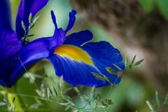Iris (Frank Nitty) Tags: iris flower macro closeup canon eos austria blossom 7d usm blume blte efs 2860 canoneos7d canonefs2860macrousm byfranknitty franknitty 2015byfranknitty 2015franknittyphotographics
