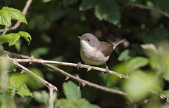 A87A5051 Lesser whitethroat (steve.ray50) Tags: sandwich 2015