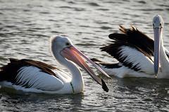 Hey, let me have a turn! (Lacewing!) Tags: playing fishing sydney australian australia pelican nsw homebushbay pelecanusconspicillatus