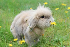 Ea (Linzse) Tags: flower rabbit bunny green grass yellow head eating lion dandelion eat isabella ea lionhead lop lionlop