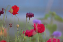 Summer color- West coast Wildflowers (yuanxizhou) Tags: flowers sunset summer colors field vancouver garden photography artist bokeh britishcolumbia scene wildflowers westcoast flowerart flowerphotography