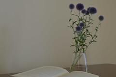 veitchi's blue (Shokosseite) Tags: flowers blue book nikon df purple vase nikondf veitchisblue