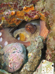 2nd octopus at home (gio087) Tags: canon underwater m varazze 25 e octopus vulgaris polpo patate savona g16 secca techdive