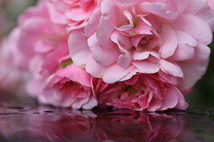 Rosy Reflections (CCphotoworks) Tags: pink roses summer nature beauty reflections pretty july blooms blooming pinkroses prettyflowers summerblooms shrubroses july2016