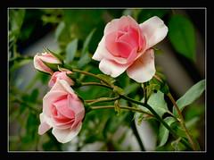 Sonntagsgru (karin_b1966) Tags: blume flower blte blossom pflanze plant garten garden natur nature 2016 rose yourbestoftoday