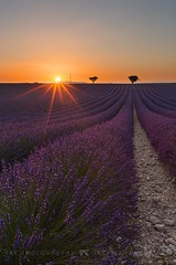 Lavender Sunburst (Jackie Tran Anh) Tags: lavendersunburst sunburst lavender valensole france europe lavendefields lavenderfields sunshine sun trees rows
