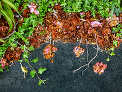 Nature Does Abstract Art (Steve Taylor (Photography)) Tags: city pink newzealand christchurch brown plant abstract flower green art leaves tarmac flora path ivy canterbury foliage nz twig southisland cbd