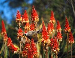 Flying off_2_c (gnarlydog) Tags: flowers red bird colorful bokeh outdoor australia manualfocus swirly noisyminer subjectisolation adaptedlens cinelens kodakcineektanon102mmf27