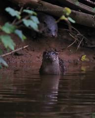 European Otter, Lutra lutra (1) (Geckoo76) Tags: otter lutralutra europeanotter