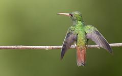 Amazilia tzacatl - Rufous-tailed Hummingbird - Amazilia Colirrufa 109 (jjarango) Tags: birding avesdecolombia avesdecolombiaavescolombiabirdingbirdwatchingpájaros birdingcolombia birdwatching birdsofcolombia birds
