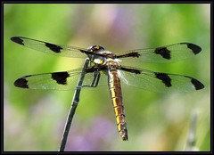 IMG_7869 Found the Right Spots IX 7-21-16 (arkansas traveler) Tags: dragonfly bichos bugs insects twelvespotskimmer nature naturewatcher bokeh bokehlicious zoom telephoto natureartphotography