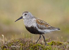 Dunlin (Ser-val) Tags: dunlin calidrisalpina alpenstrandlufer